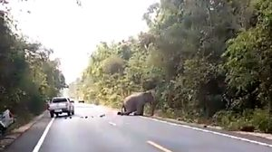 หน.เขตรักษาพันธุ์สัตว์ป่าเขาอ่างฤาไน ลั่น! ต้องหาช้างป่าถูกรถชนจนกว่าจะเจอ