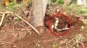 อินเดียใจกล้า! บุกจับงูจงอางขนาดใหญ่ถึงที่ ท่ามกลางเสียงเชียร์