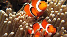 พบนักล่าในคราบนักท่องเที่ยว ลักจับปลาการ์ตูนส้มขาวในสตูล