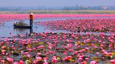 ทะเลบัวแดง บึงหนองหานกุมภวาปี อันซีนแห่งสีสันธรรมชาติสร้าง