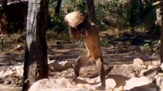 ฮือฮา ลิงคาปูชินในบราซิล รู้จักใช้เครื่องมือไว้หากินเหมือนคน
