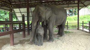 ช้าง, ควาญช้าง, โรงพยาบาลช้าง, ข่าวช้าง, ข่าวจังหวัดลำปาง