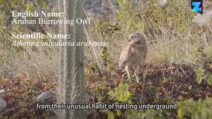 Saving The Owl