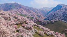 ชมความงาม! 13 ภาพดอกแอพริคอทบานสะพรั่งที่เมืองจีน