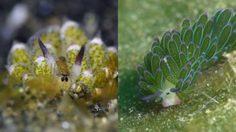 สีสวยน่ารัก! ทากทะเลใบไม้ สิ่งมีชีวิตที่สามารถสังเคราะห์แสง ให้พลังงานกับตัวเอง