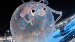 """เคยเห็นกันมั๊ย? ตัวใสๆ กลมๆ """"หมึกลูกหมู (Piglet Squid)"""" สัตว์ใต้ท้องทะเล"""