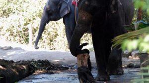 ช้างตกมันกระทืบคนตาย
