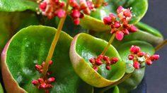 Crassula Umbella พืชแปลกตาน่ารัก