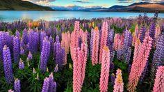 ลูพิน ดอกไม้ริมทะเลสาบเทคาโป ประเทศนิวซีแลนด์