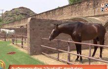 """อินเดียพยายามรักษา """"ม้ามาร์วารี"""" สายพันธุ์เอก"""