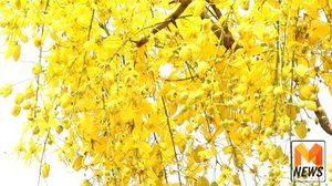 'ดอกคูณ' เหลืองอร่ามบานสะพรั่ง ริมกว๊านพะเยารับสงกรานต์