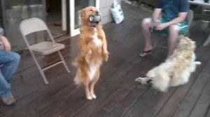หมาของพ่อบ้านใจกล้า! คลิปโกลเด้น ไปคาบเบียร์ให้เจ้าของ