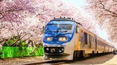 หนีร้อนไปเที่ยวเกาหลี ชม 'ดอกซากุระ' บานสะพรั่งกันเถอะ!