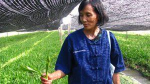 ผักชีฝรั่ง บ้านคลองโยง เพาะปลูกแบบปลอดสาร ทำกำไรงามเป็นกอบเป็นกำ