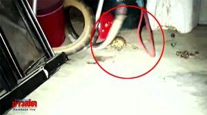 งูกินคางคก, ข่าวงู, ข่าวจังหวัดประจวบคีรีขันธ์