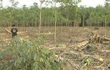 ช้างป่าทำลายสวนกล้วย-ยางพารา กว่า 20 ไร่ จ.บึงกาฬ