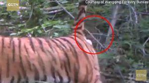 เสือตด, เสือผายลม, ข่าวจีน