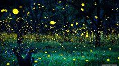 ดินแดนหิ่งห้อย ปราจีนบุรี ส่องแสงเรืองรองตระการตา มหัศจรรย์ธรรมชาติในหน้าฝน