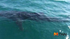 ฮือฮา! พบฉลามวาฬยาว 5 เมตรโผล่ใกล้เรือหางยาว