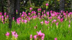 วันหยุดยาววันแม่ นักท่องเที่ยวแห่ เที่ยวชมดอกกระเจียวบาน ที่ชัยภูมิ