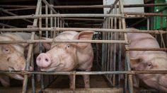 องค์กรพิทักษ์สัตว์โลก จับมือ เชฟบุ๊ค ชวนร่วมโครงการ Raise with Care เลี้ยงหมู ไม่ใช่กักขัง!!