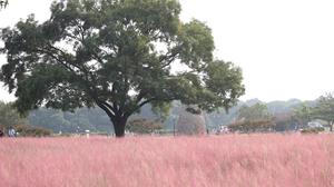 เดินเล่นกลางทุ่งสีชมพู Pink Muhly Grass หวานทั่วแดนกิมจิ