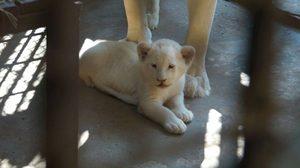 สวนสัตว์ขอนแก่นเฮ! ได้สมาชิกใหม่ ลูกสิงโตขาว-ค่างห้าสี พร้อมกัน
