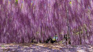 ภาพสวยๆ ต้นวิสทีเรีย อายุกว่า 144 ปี ที่ญี่ปุ่น