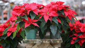 วิธีปลูกต้นคริสต์มาส ไม้ประดับ ดูดสารพิษ ตั้งในห้อง หรือ กลางแจ้งก็รอด