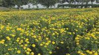 เกษตรกรวังน้ำเขียว แห่ปลูกดอกดาวเรืองคึกคัก สร้างรายได้งาม
