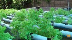 ปลูกผักไฮโดรโปนิกส์ แปรรูปเป็นสลัดโรลส่งขาย สร้างรายได้งาม