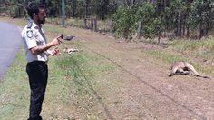 สลด! จิงโจ้ ออสเตรเลีย ถูกคนขับรถชนตายถึง 16 ตัว