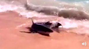นทท.ผวา! ฉลามตัวเขื่อง โผล่เกยตื้นที่สเปน