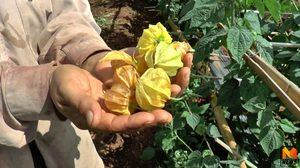'เคพกูสเบอร์รี่' พืชเสริมทางเลือกอายุสั้นราคาดี สรรพคุณเพียบ!!