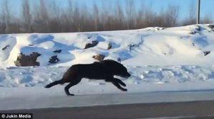 ภาพหายาก!! หมาป่าสีดำ ปรากฏตัวที่แคนาดา