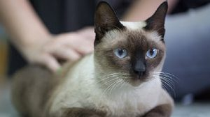 15 Asian Cat Breeds