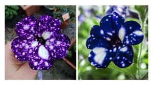 วิธีปลูก ดอกพิทูเนีย พันธุ์แปลก สวยดึงดูดสายตา ราวกับทางช้างเผือก