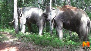 ช้างหลุดโซ่! ไล่กระทืบ 2 สามีภรรยาสาหัส ตับแตก ม้ามฉีก