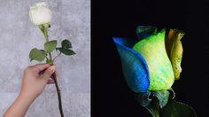 โธ่เอ๊ย! นี่ก็หลงนึกว่ายาก! วิธี ย้อมสีดอกกุหลาบ ให้สวยหลากสีสัน ง่ายแค่นี้เอง!