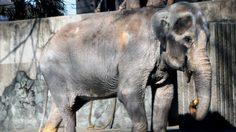 ย้อนรอยประวัติ 'ช้างฮานาโกะ' ทูตไทยในญี่ปุ่น