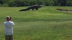 นึกว่า จูราสสิค ปาร์ค! ตีกอล์ฟ อยู่ดีๆ ก็เจอไอ้เข้ยักษ์ 4 เมตร กลางแฟร์เวย์