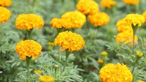 ดาวเรือง ดอกไม้ประจำรัชกาลที่ 9  ดอกไม้ที่วันนี้ทุกคนร่วมใจกันปลูกได้