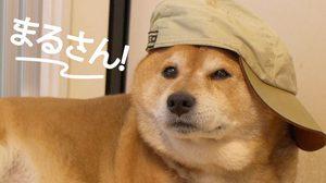 น่ารักมากเวอร์! มารุ หมาชิบะจอมเกรี้ยวกราด จากคลิปสะบัดชามข้าวที่แชร์กันทั่วโซเชียล