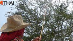 แล้งหนักขาดน้ำ! ชาวนาเก็บมะขามเทศขายสร้างรายได้เลี้ยงครอบครัว