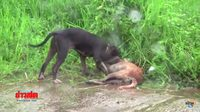 ชาวบ้านผวา! หลังหมาพิทบูลหลุด! รุมขย้ำหมาบ้านตายอนาถ