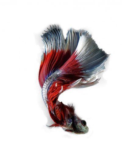 เปิดอาณาจักรปลากัด สิรินุช เบตต้าฟาร์ม