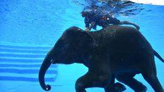 น่ารัก! 'พังแสนดาว' ช้างน้อยเขาเขียว โชว์ลีลาว่ายน้ำ มัดใจ นทท.