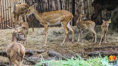 เขาดินเปิดตัวสัตว์ป่าสงวน 'ลูกละมั่งพันธุ์ไทย' สมาชิกเกิดใหม่ส่งท้ายปีเก่า