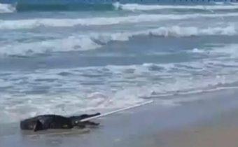 จระเข้เกยตื้นหาดในสหรัฐฯ