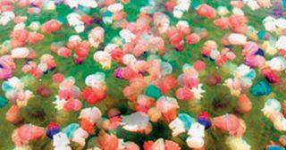 เทศกาลไม่ควรพลาด 'แมงกะพรุนหลากสี' ความงามตระการตาบนท้องทะเลตราด